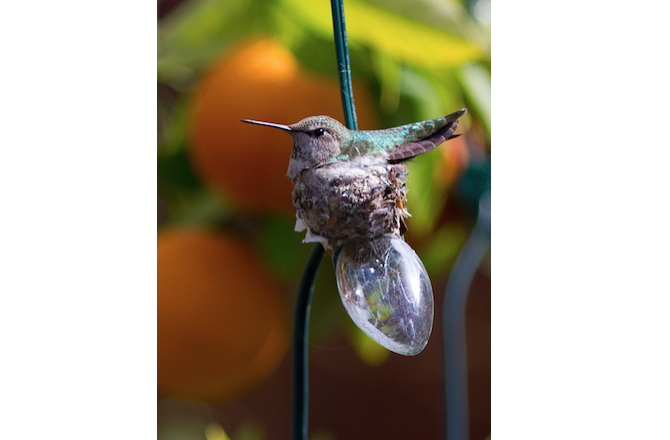 4-nest-annashummingbird