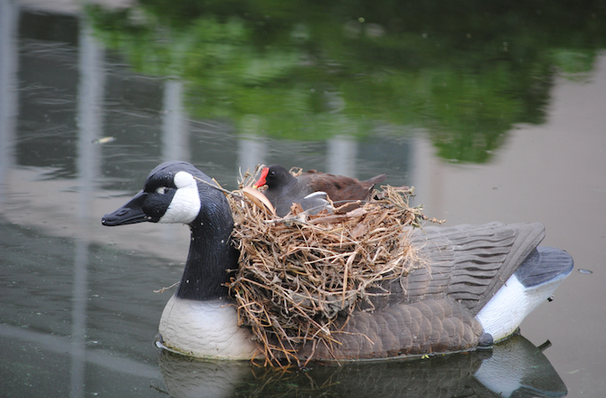5-nest-commonmoorhen