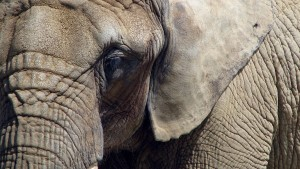 Researchers have witnessed a range of emotions in elephants, including what appears to be grief.