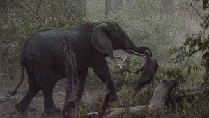 An elephant in Tanzania carrying her stillborn calf.